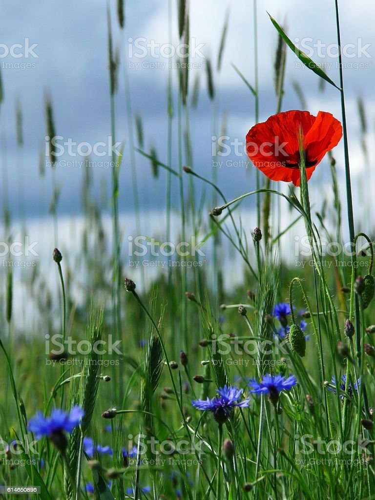 flour; cornflowers and green meadow 1 stock photo