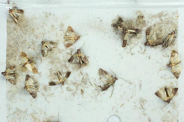 Flour moths picture id507285762?b=1&k=6&m=507285762&s=612x612&w=0&h=zkyseiefnr3qj8pyy6meb9foaugtlfefczonzr5ogbs=
