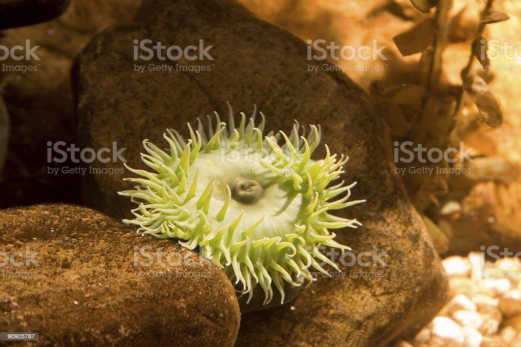 Flourescent Green Sea Anenome royalty-free stock photo