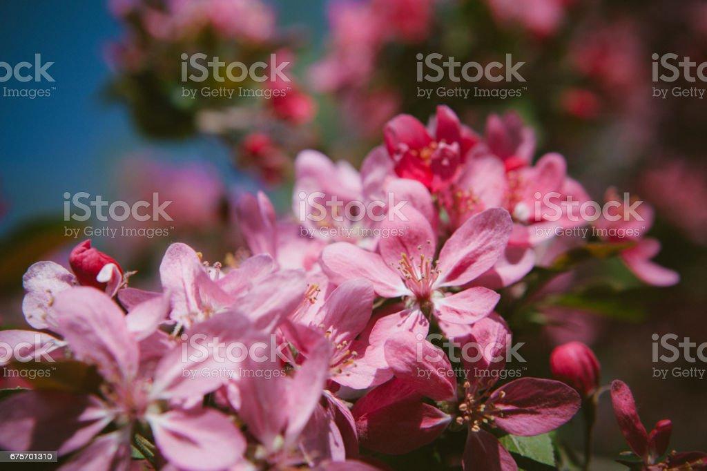 Flourish pink Chinese flowering crab apple flowers. Toned photo royalty-free stock photo