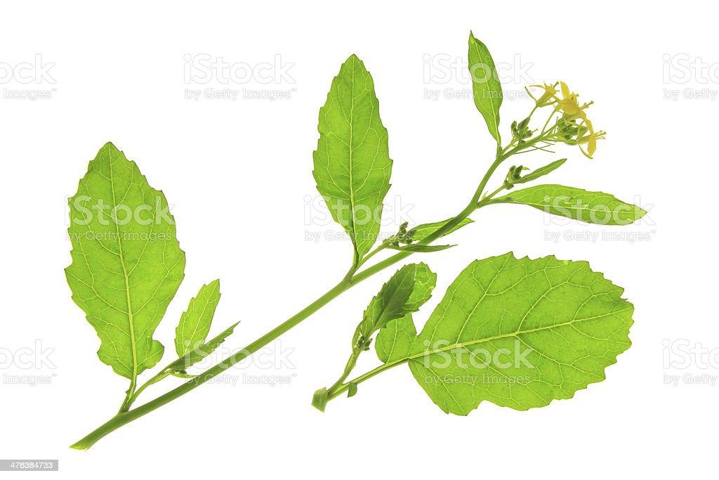 Flourishing black mustard (Brassica nigra) stock photo