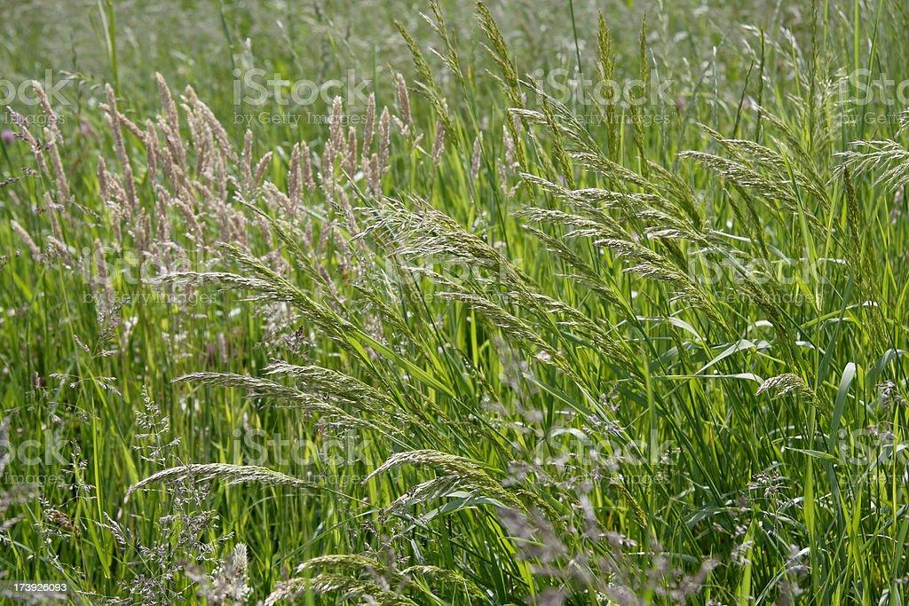 Flourishing green grass meadow - allergy time stock photo