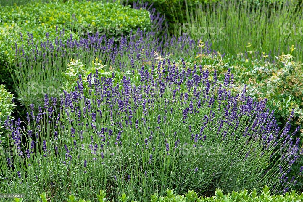 flourishing lavender stock photo