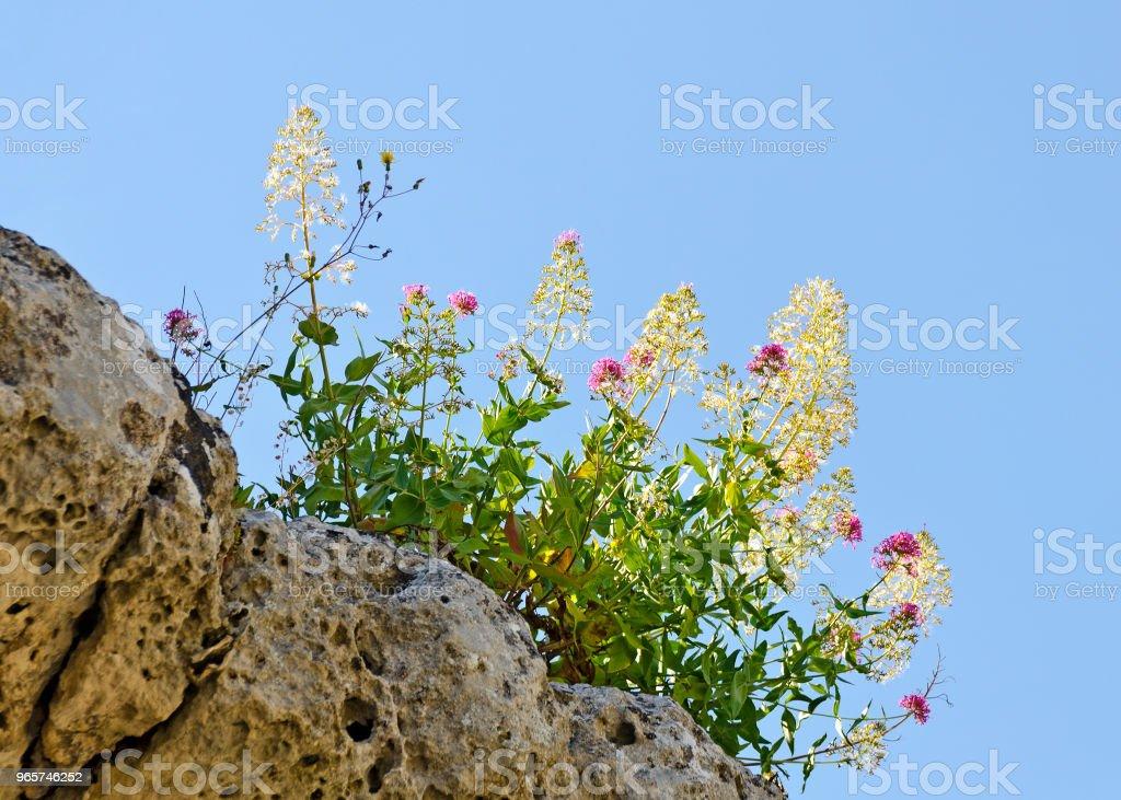 flourishing shrub at blue sky - Royalty-free Basilicata Region Stock Photo