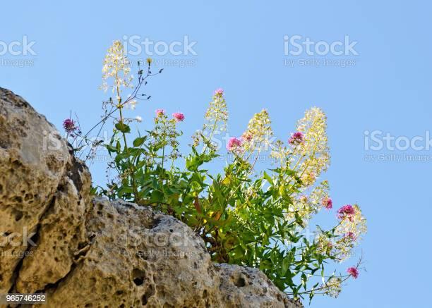 Flourishing Shrub At Blue Sky Stock Photo - Download Image Now