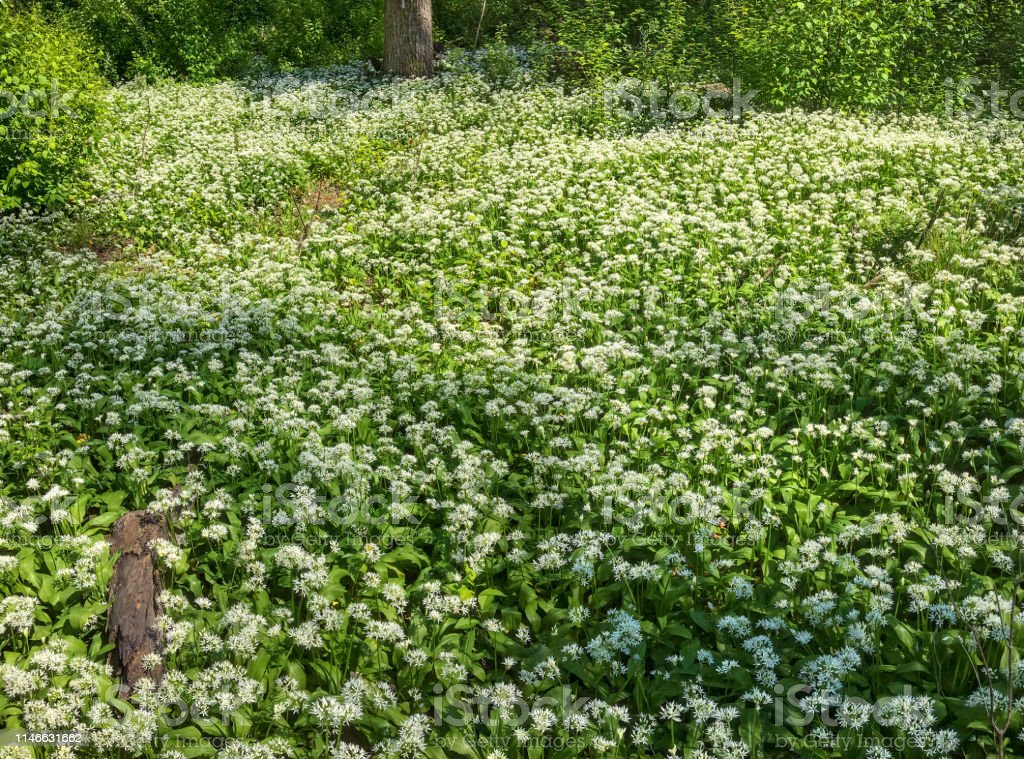 Flourishing wild garlic