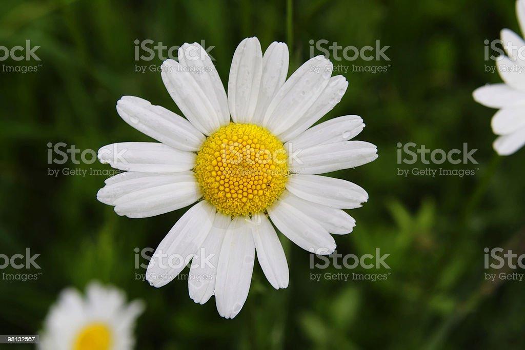 Flower 1 royalty-free stock photo