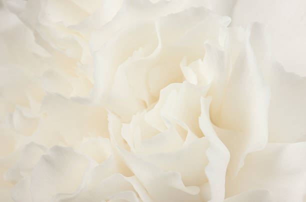 flower, abstract, white carnation, sensual, background, purity, design, feminine, close-up - femininity stock pictures, royalty-free photos & images