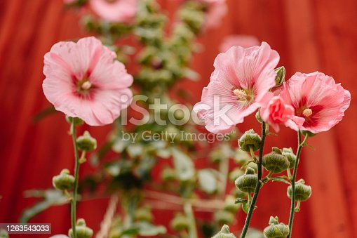 Flower alcea rosea pink the common hollyhock against red wall outdoors in summer Photo of flower close up