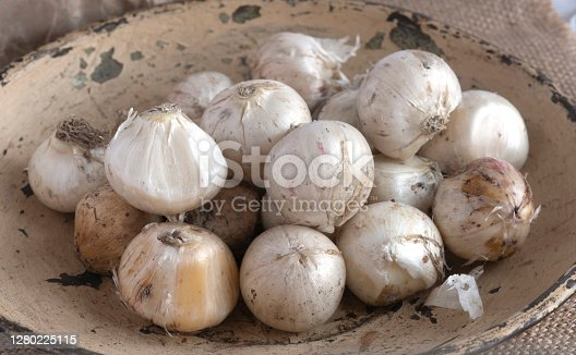 close up  of allium flower bulbs ready to plant  on a white paper background in a metal tray  copy space available above