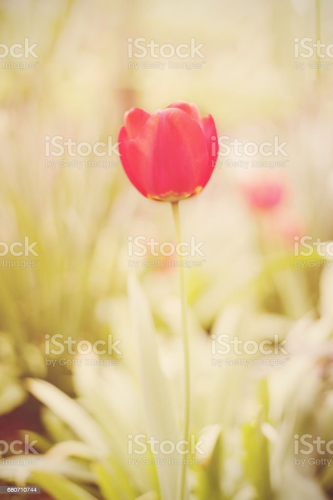 Flower. Amazing red tulip flower & green grass background. Red tulip...