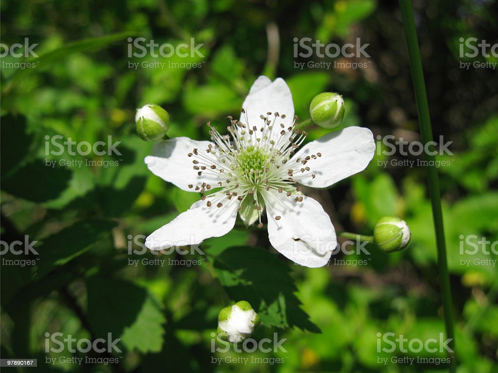 Flower and 4 Buds royalty-free stock photo