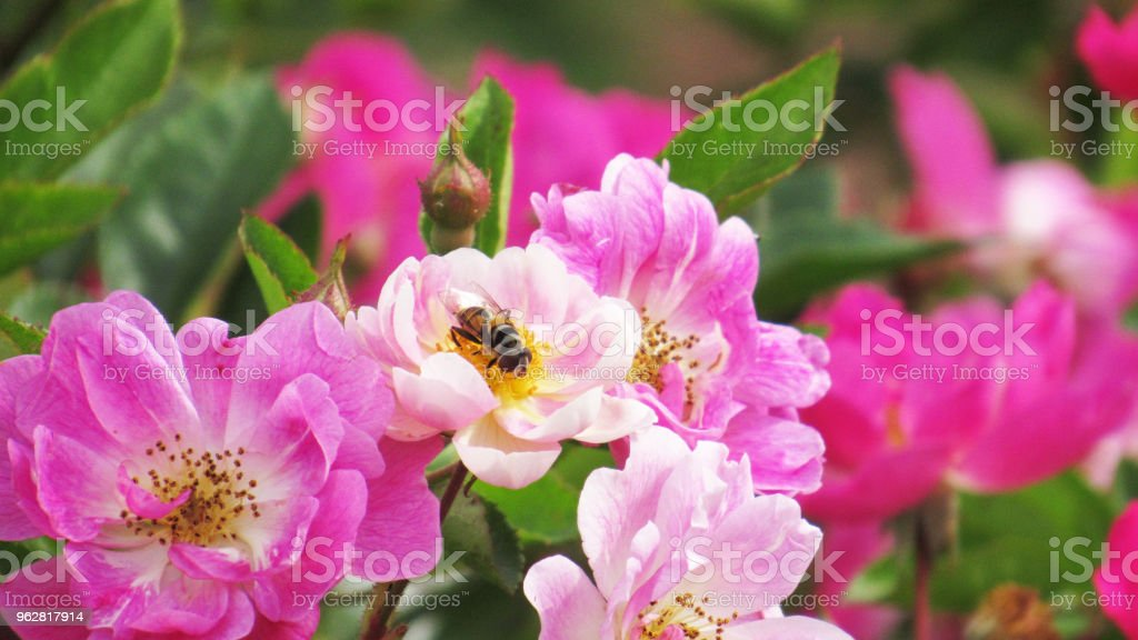 Flower and bee - Foto stock royalty-free di Ape