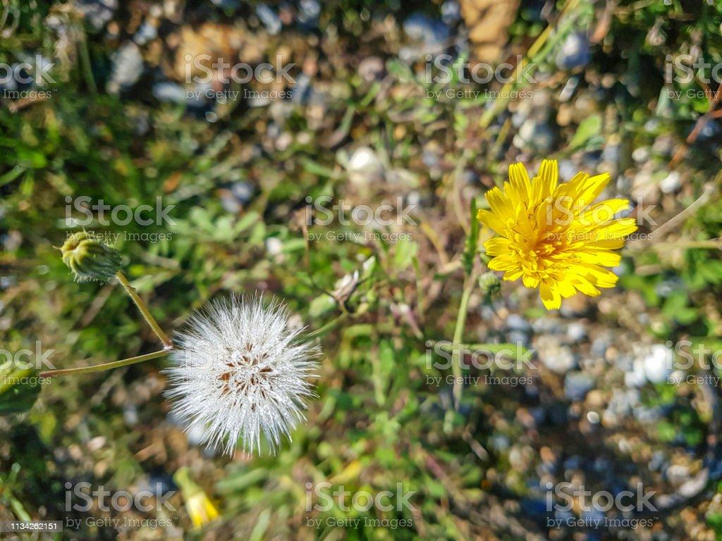 Flor y frutos de falso diente de León - foto de stock