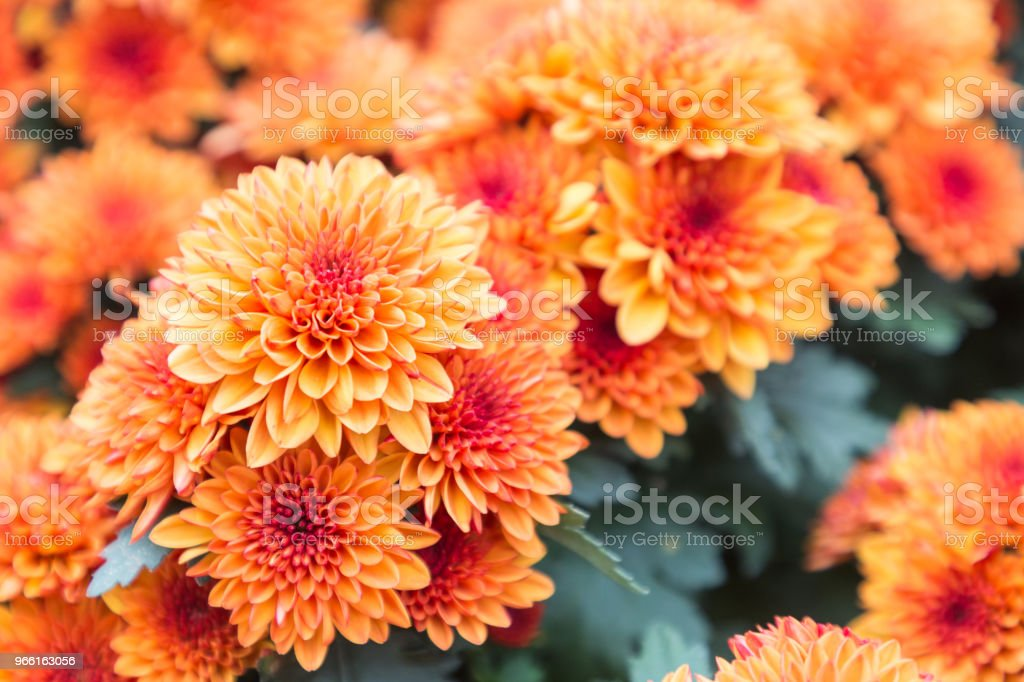 Flower and green leaf background in flower garden at sunny summer or spring day. flower for postcard beauty decoration and agriculture concept design. - Royalty-free Art Stock Photo
