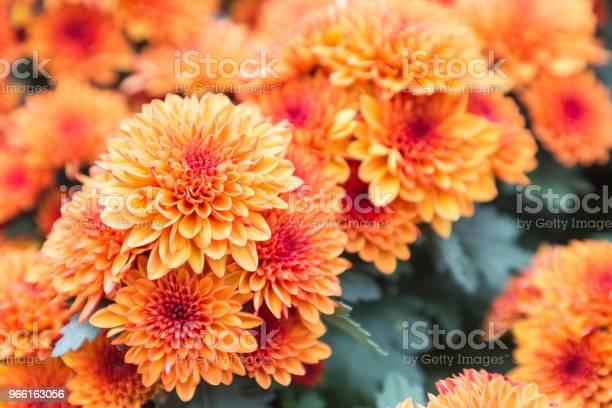 Blomma Och Grönt Löv Bakgrund I Blomsterträdgården På Soliga Sommaren Eller Våren Dag Blomma För Vykort Skönhet Dekoration Och Jordbruk Konceptdesign-foton och fler bilder på Bildbakgrund