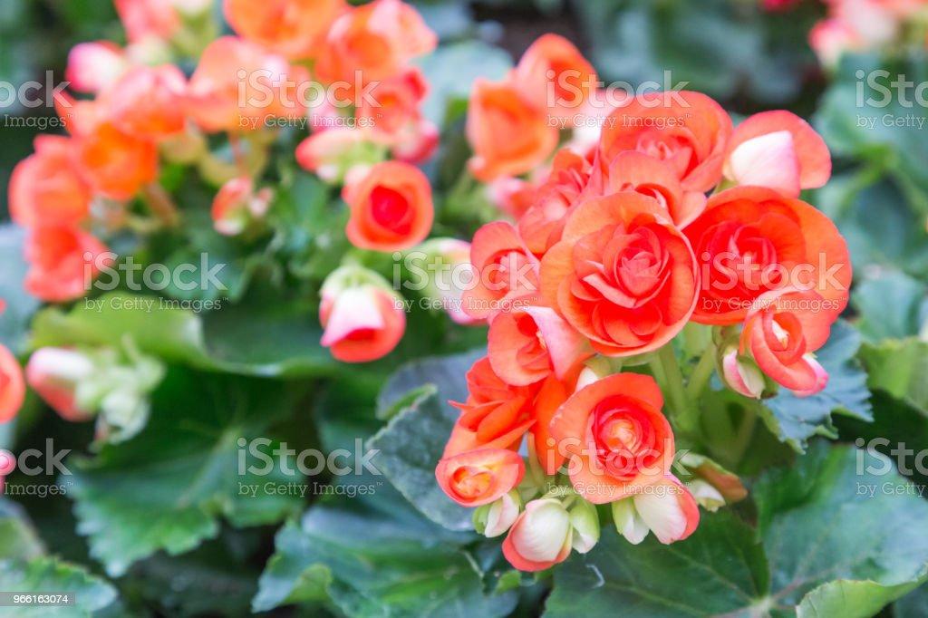 Blomma och grönt löv bakgrund i blomsterträdgården på soliga sommaren eller våren dag. blomma för vykort skönhet dekoration och jordbruk konceptdesign. - Royaltyfri Bildbakgrund Bildbanksbilder