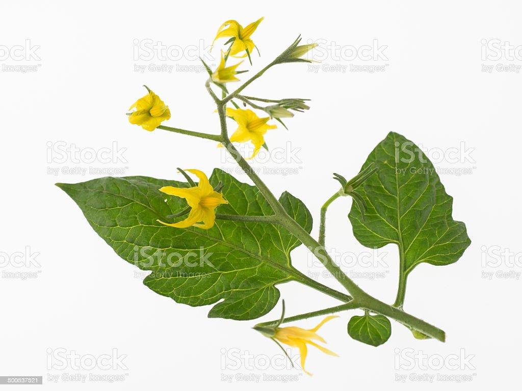 Blumen und Blätter der Tomaten auf weißem Hintergrund – Foto