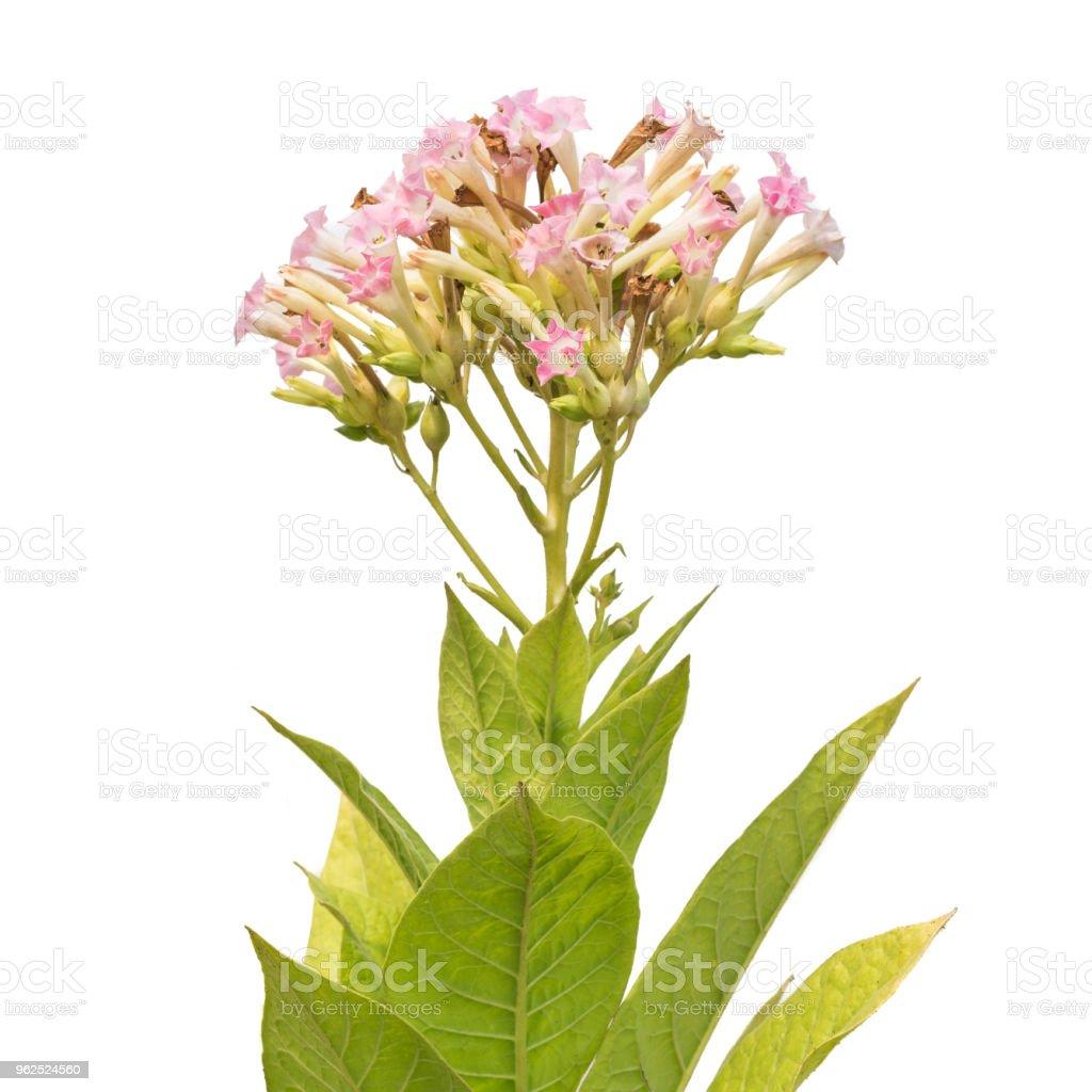 Flores e folhas da planta do tabaco isolada no branco - Foto de stock de Agricultor royalty-free