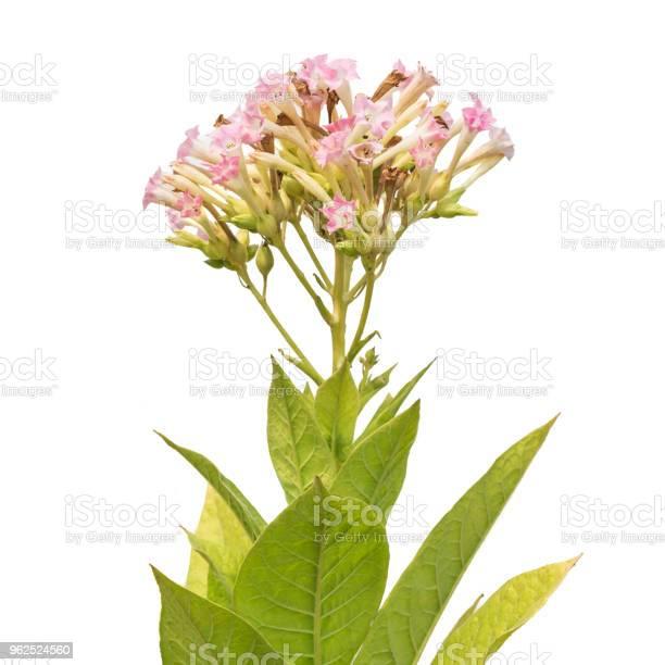 Foto de Flores E Folhas Da Planta Do Tabaco Isolada No Branco e mais fotos de stock de Agricultor