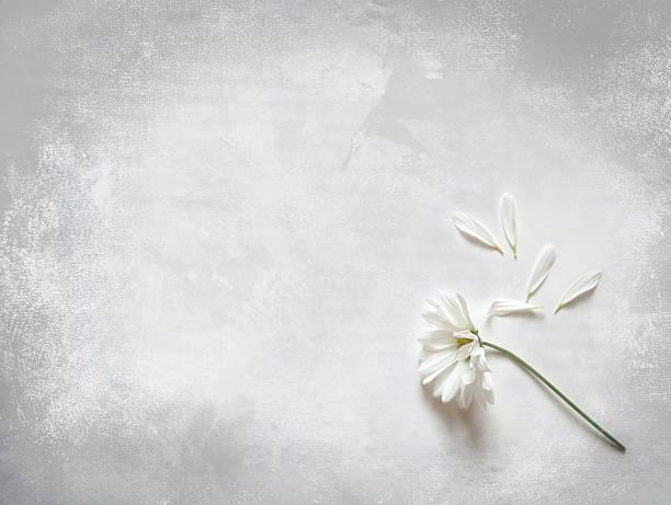 Blume Blütenblätter und weiter: Sie liebt mich nicht. – Foto