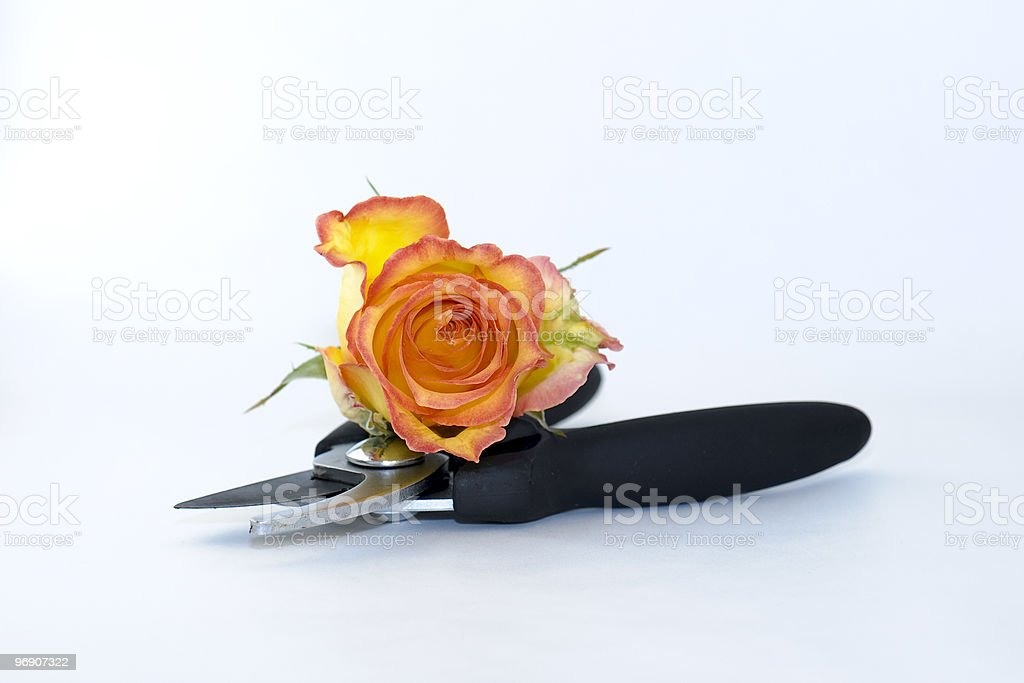 Flower and secateurs royalty-free stock photo