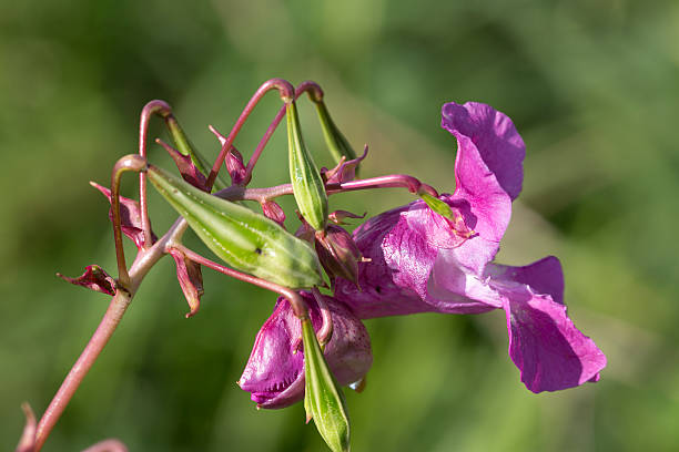 Flower and seed pods of Himalayan Balsam stock photo
