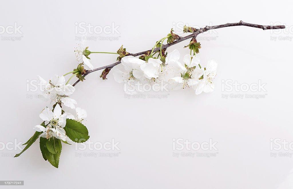 flower apple tree stock photo