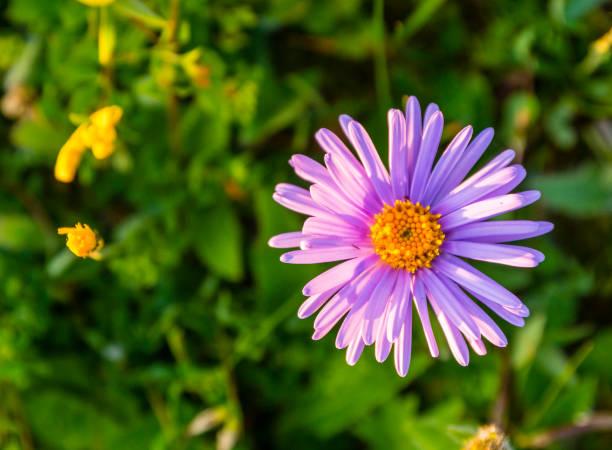 Çiçek - Aster alpinus L. stok fotoğrafı