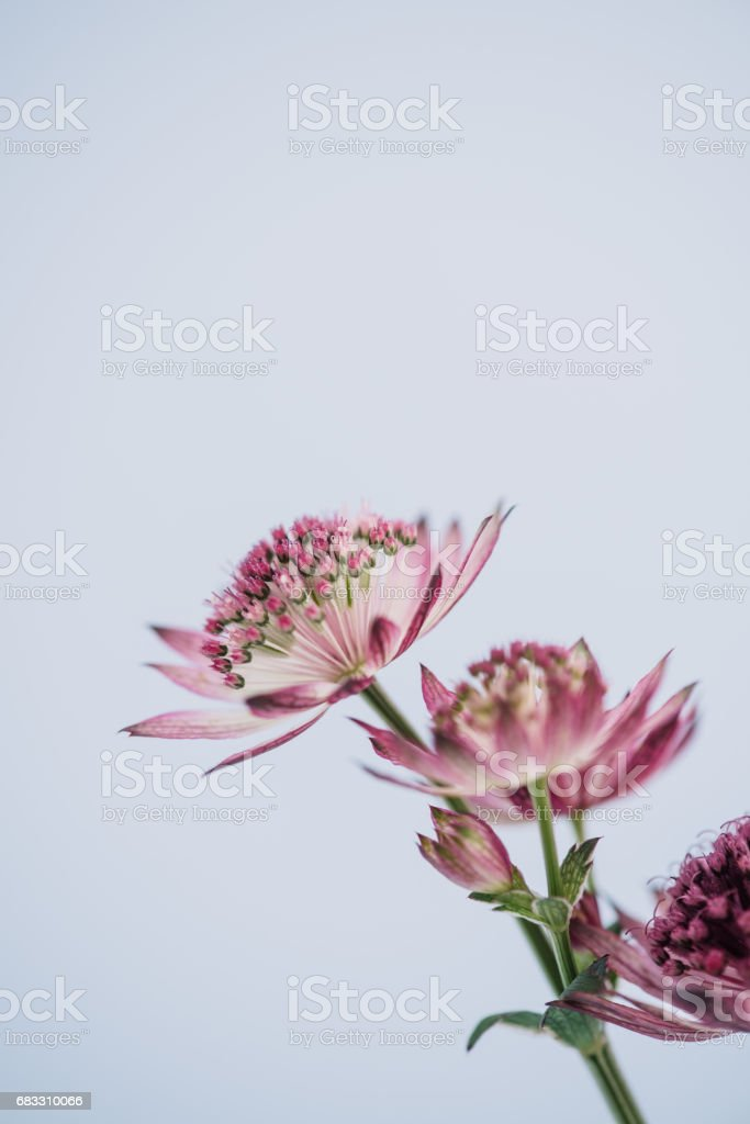 Flower Astrantia macro foto stock royalty-free