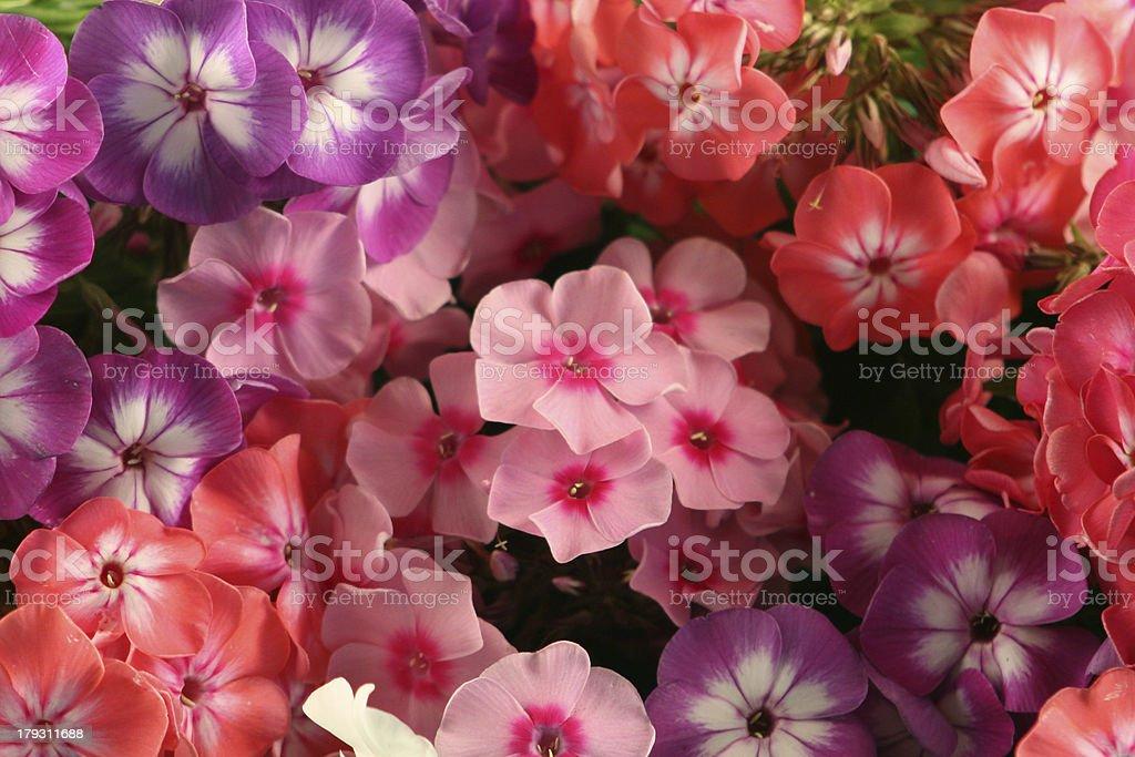 Flower background - multi-coloured phloxes stock photo