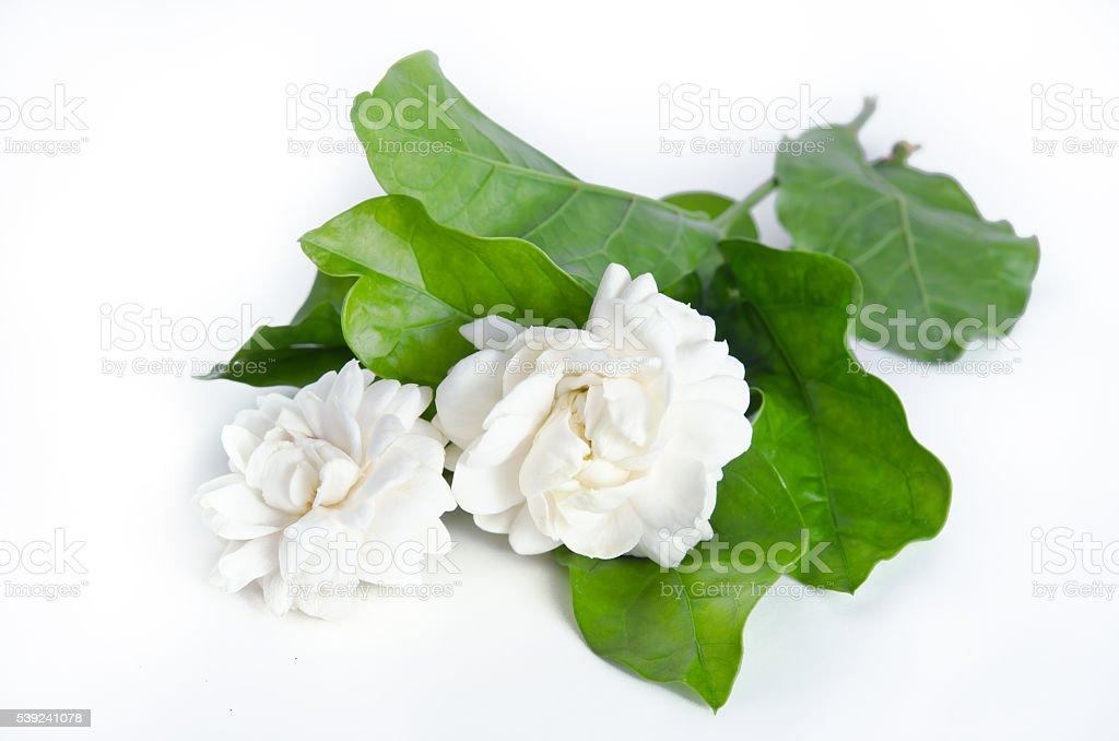 Flor de fondo de flores Jazmín backgroun aislado sobre blanco foto de stock libre de derechos