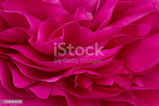 Studio Shot of Magenta Colored Peony Flowers Background. Macro. Close-up.