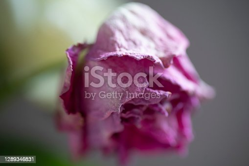 A rose flower shrivelling up due to age .  It illustrates cut flower aging in shops.