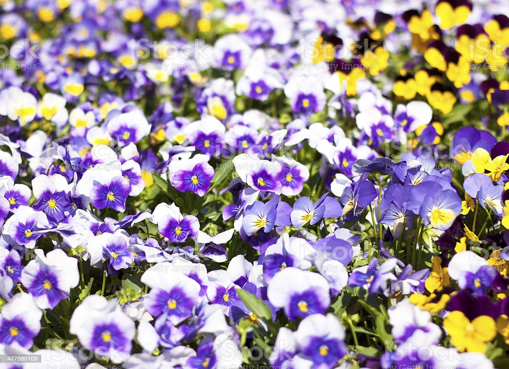 Flower bed bloom in the garden. royalty-free stock photo