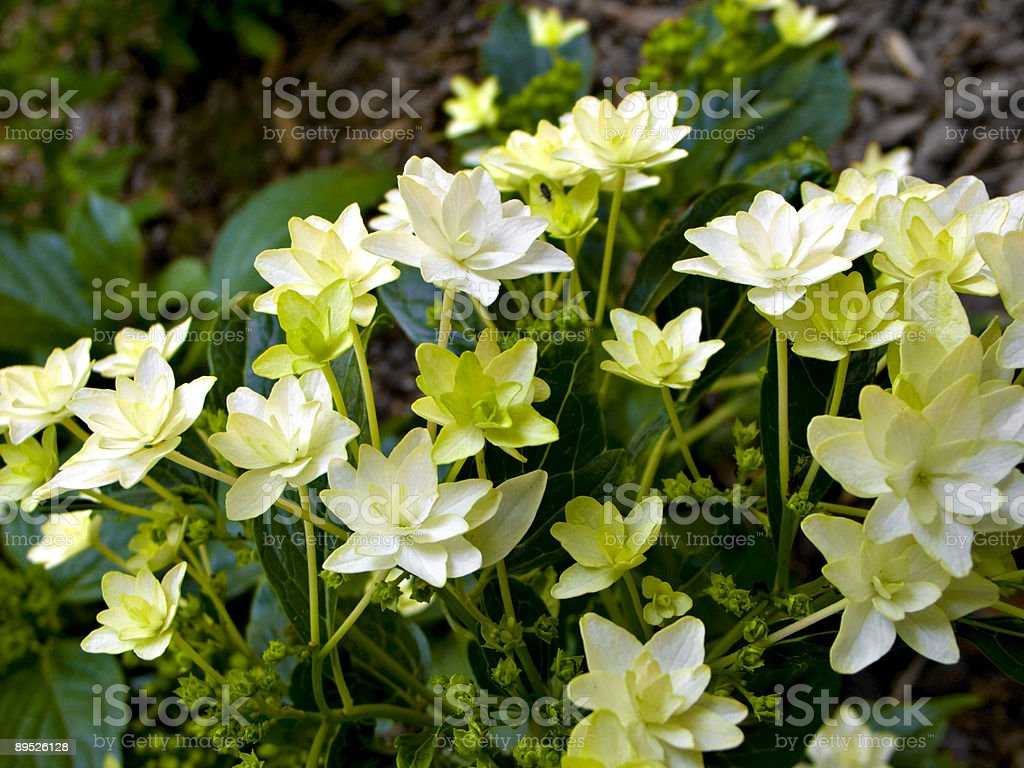 Flower bed displaying Lenten Rose aka Hellebore aka Corsican Rose royalty-free stock photo