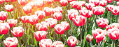 Flower bed of beautiful tulips. Beautiful spring tulips flowers in park. Sun rays. Horizontal banner - Image