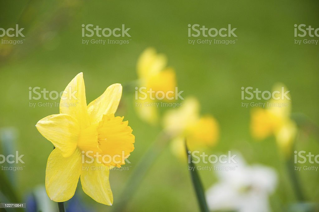 Flower bed of daffodils royalty-free stock photo