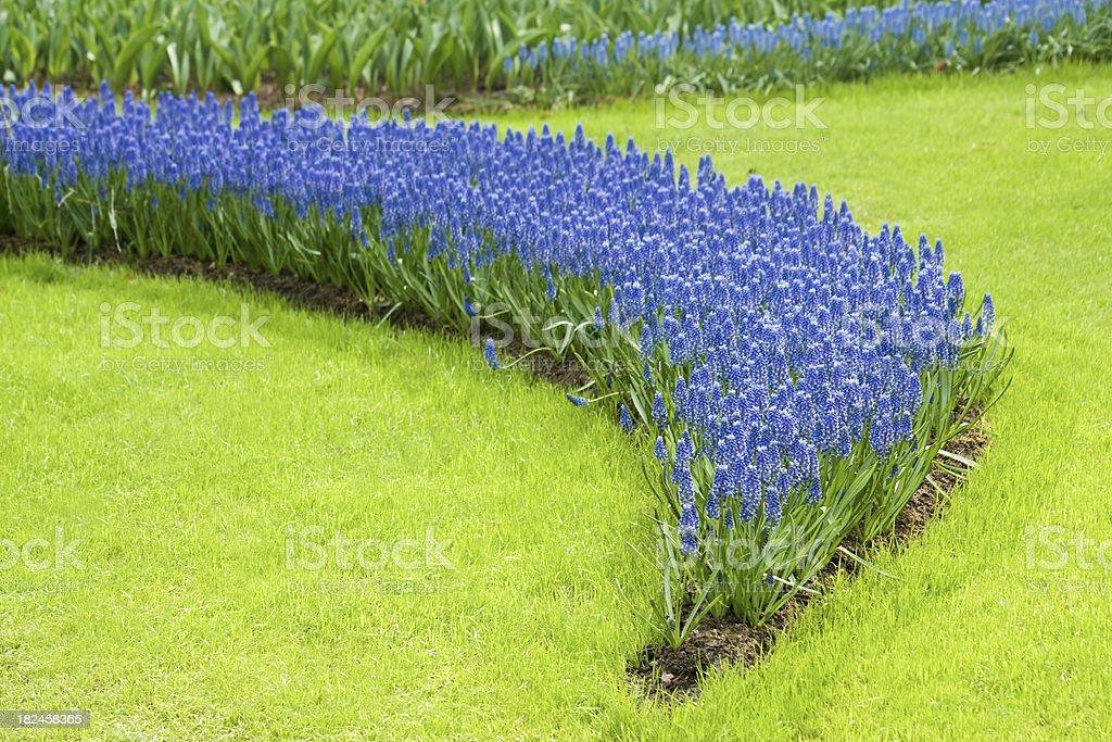 Cama con flores de uva Hyacinths. foto de stock libre de derechos