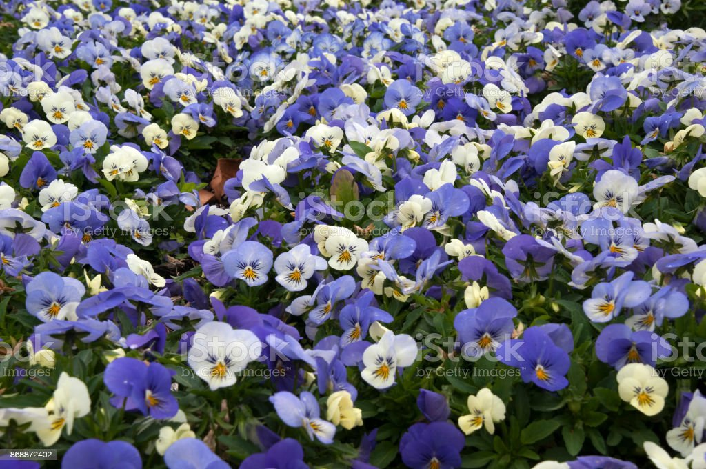 Flower bed of purple and white pansies stock photo more pictures flower bed of purple and white pansies royalty free stock photo mightylinksfo