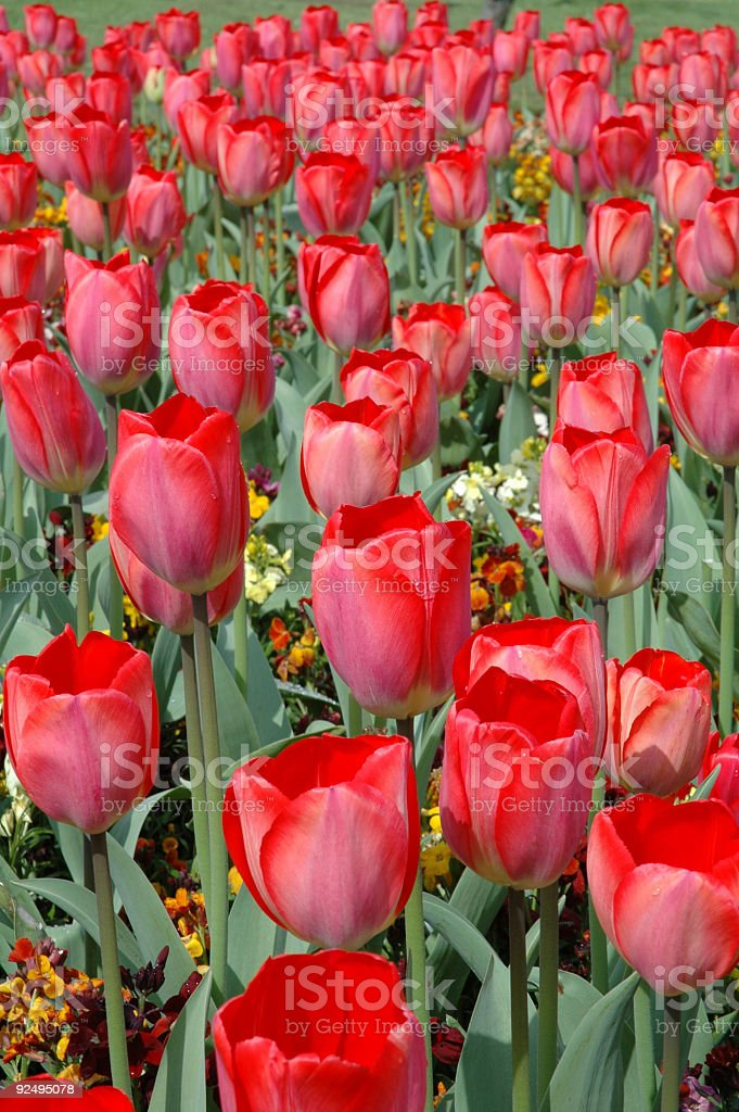 Flower bed of red and pink tulips royalty-free stock photo