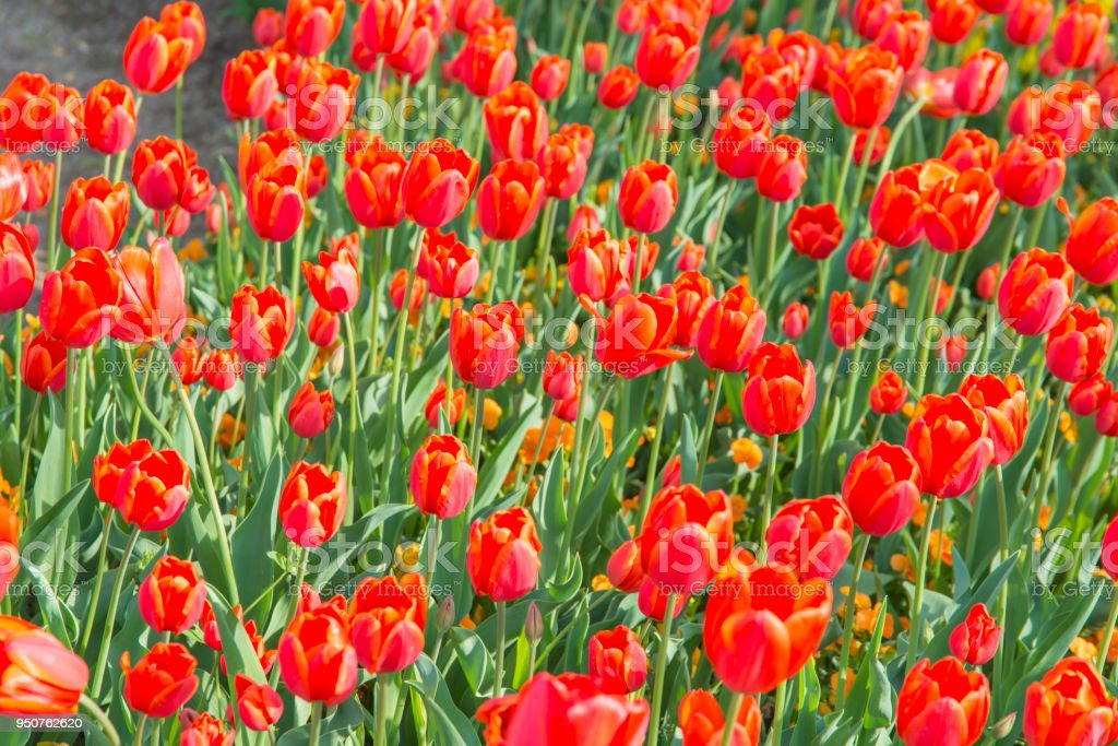 A Flower Bed Of Red Tulips Stock Photo More Pictures Of Beauty