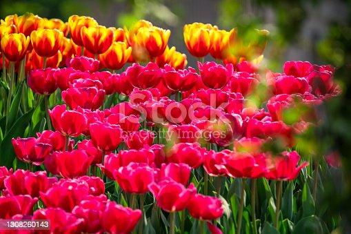 Flower bed of tulips in the garden