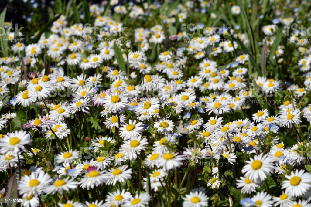 Flower bed of white daisy background stock photo more pictures of flower bed of white daisy background royalty free stock photo mightylinksfo