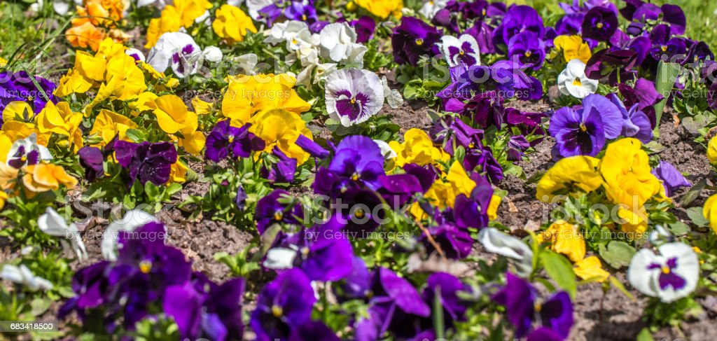 flower bed Pansy stock photo