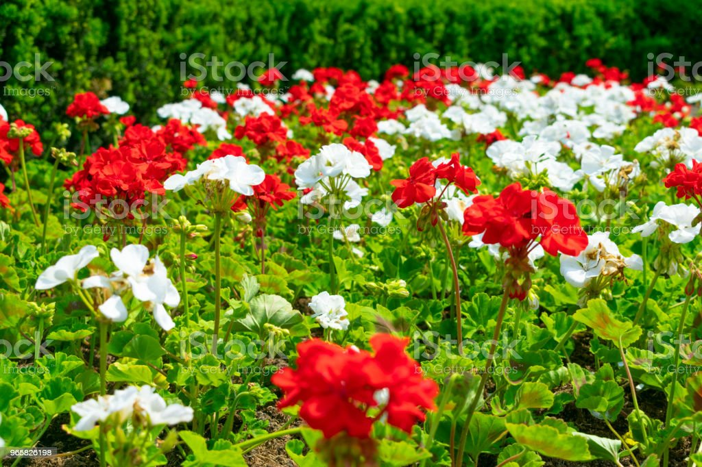 Flower Bed With A Mix Of Many Plants Of Red And White Flowering
