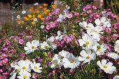 Flower bed with cosmos and aster flowers in the autumnal garden