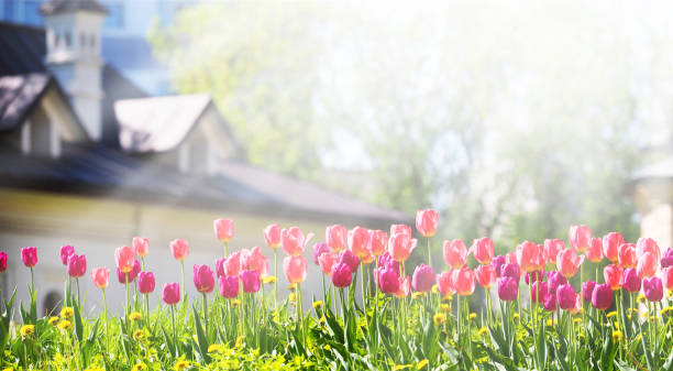 A flower bed with pink and purple tulips in the rays of sunlight against the backdrop of a beautiful white house with a sloping roof. Gardening, panoramic view A flower bed with pink and purple tulips in the rays of sunlight against the backdrop of a beautiful white house with a sloping roof. Gardening, panoramic view springtime stock pictures, royalty-free photos & images