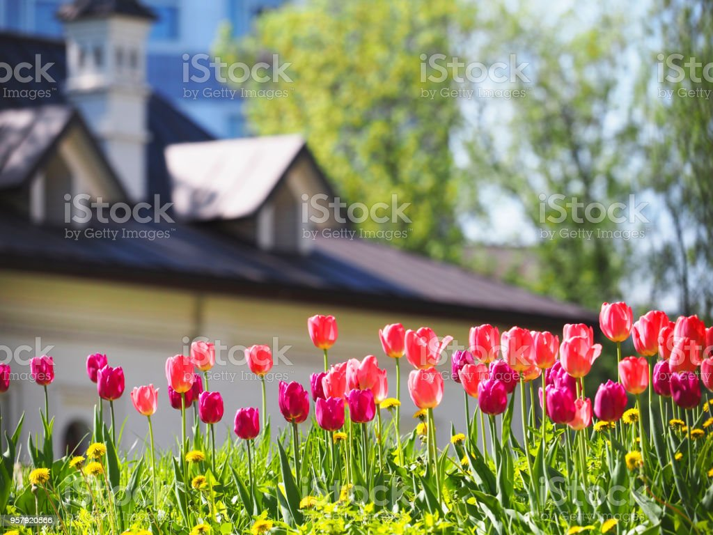 A flower bed with pink and purple tulips in the rays of sunlight against the backdrop of a beautiful white house with a sloping roof. Gardening stock photo