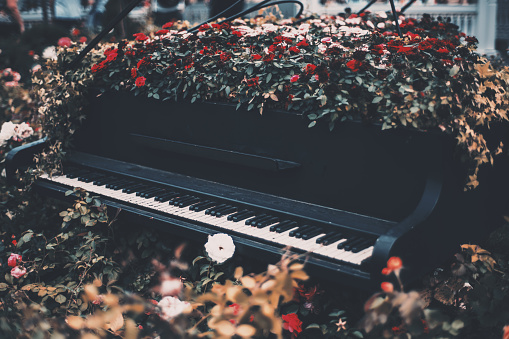 Flower bed with roses inside of old grand concert piano